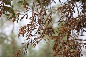 Apariencia del arbol de olivo infectado por Xyllella