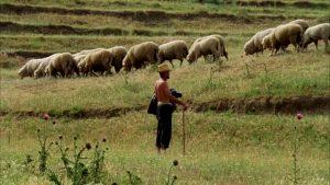 El acebuche es apreciado por su dureza, y se emplea en la elaboración de varas de pastores