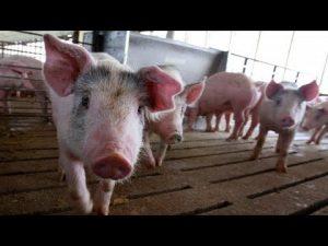 Al ganado porcino le complace el orujo como alimento