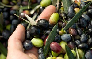 En España las especies más conocidas de aceitunas con las que se produce aceite son Picual, Hojiblanca, Arbequina, Cornicabra y Empeltre.