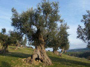 Los egipcios solían aprovechar el olivo ya que producir aceite no se había optimizado aún