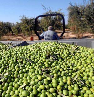 Es importante que las olivas se transporten con sumo cuidado antes de extraer su aceite
