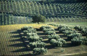Los olivos ecológicos cuentan con un rendimiento menor en relación a la cantidad de aceitunas que producen