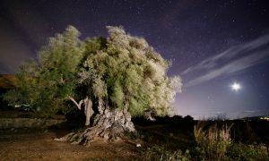 El olivo y su perdurable legado