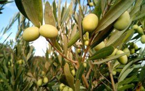 Herodoto describió a Atenas como el centro del cultivo del olivo en Grecia.